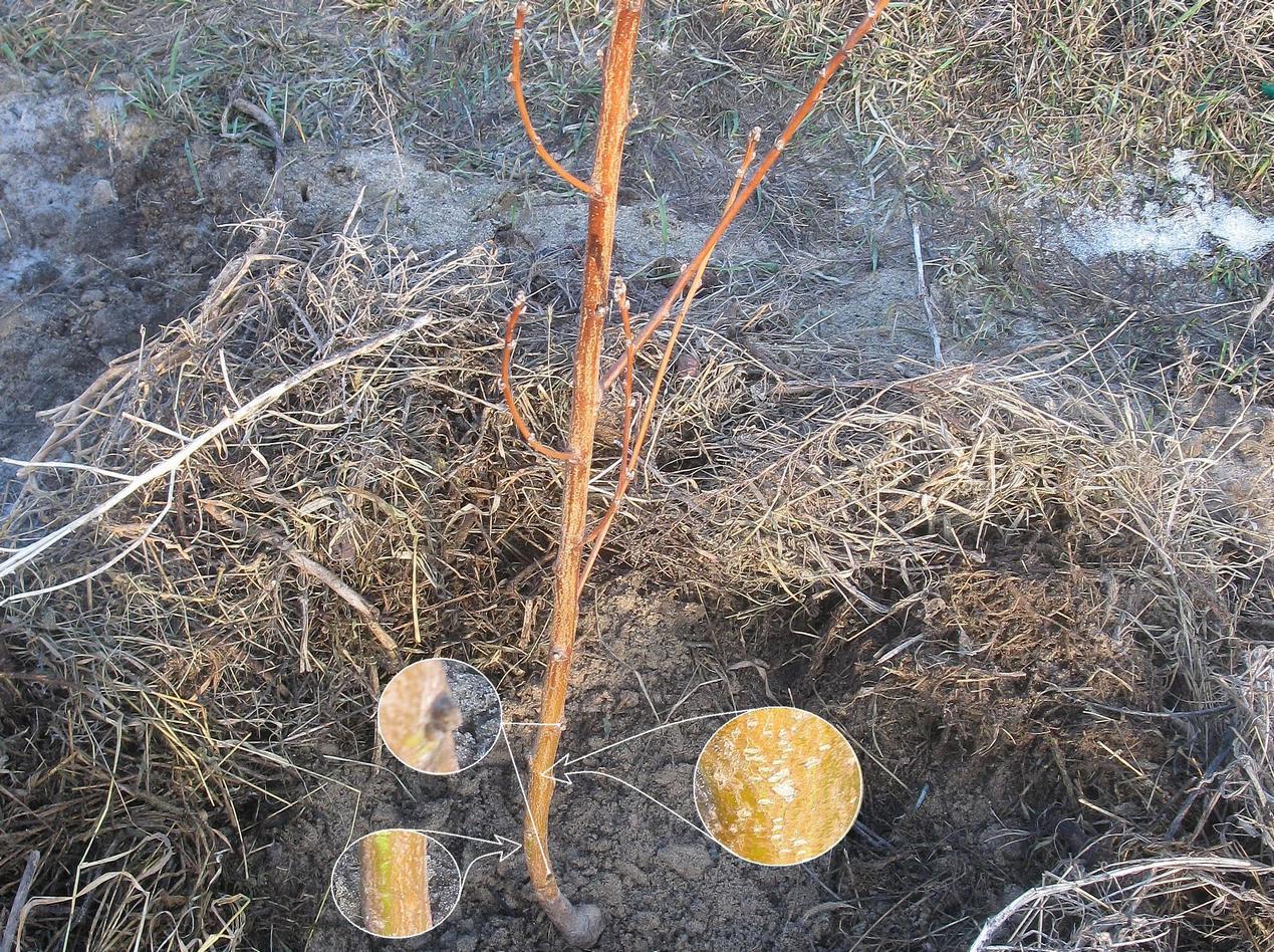 Засохшая трава возле ствола молодого дерева