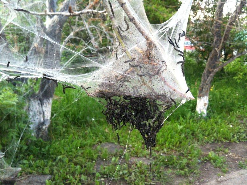 Фото паутины на яблоне с гусеницами