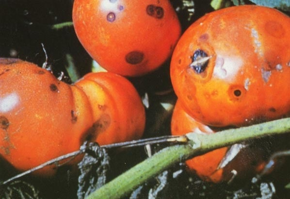 Антракноз плодов томата (помидора)