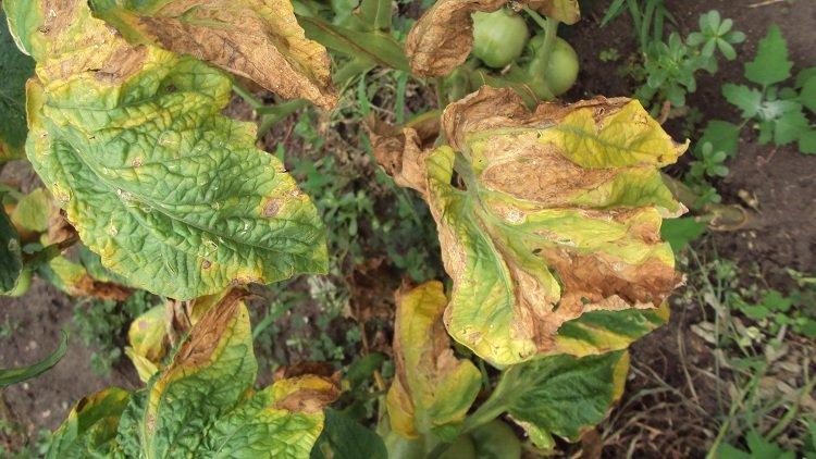 Скрученные листья помидора от фитофтороза
