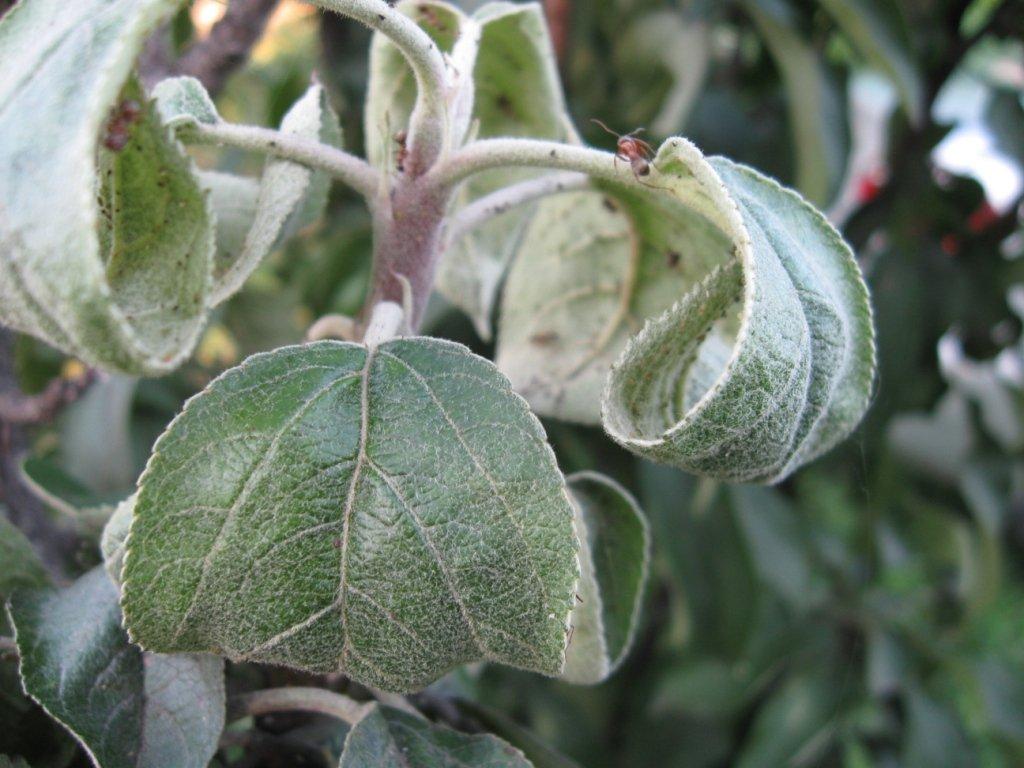 Фото покрученных листьев яблони