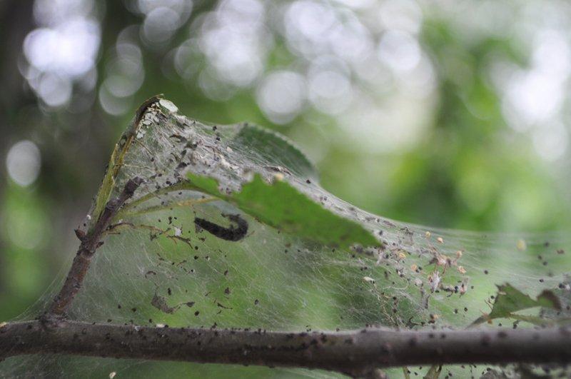 Фото паутины на яблоне
