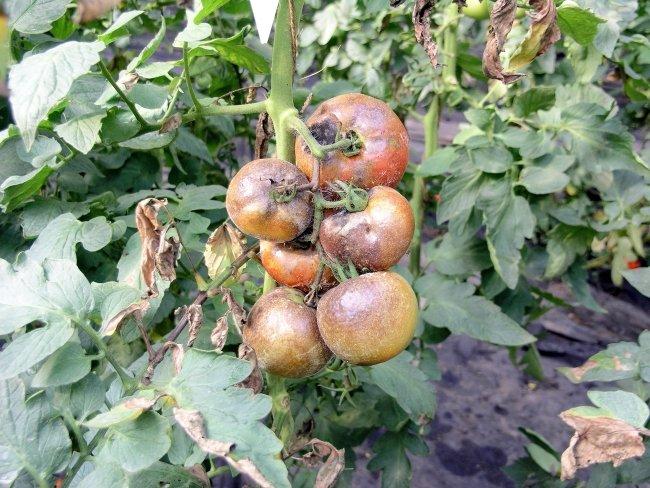 Проявление фитофтороза на плодах и кусте помидора