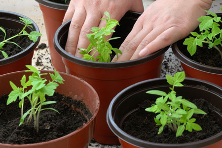 Пересадка рассады томатов (помидор)
