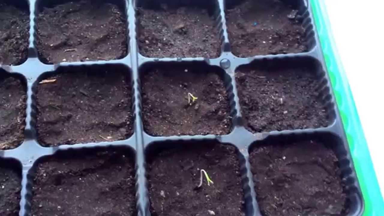 Первые всходы рассады помидор