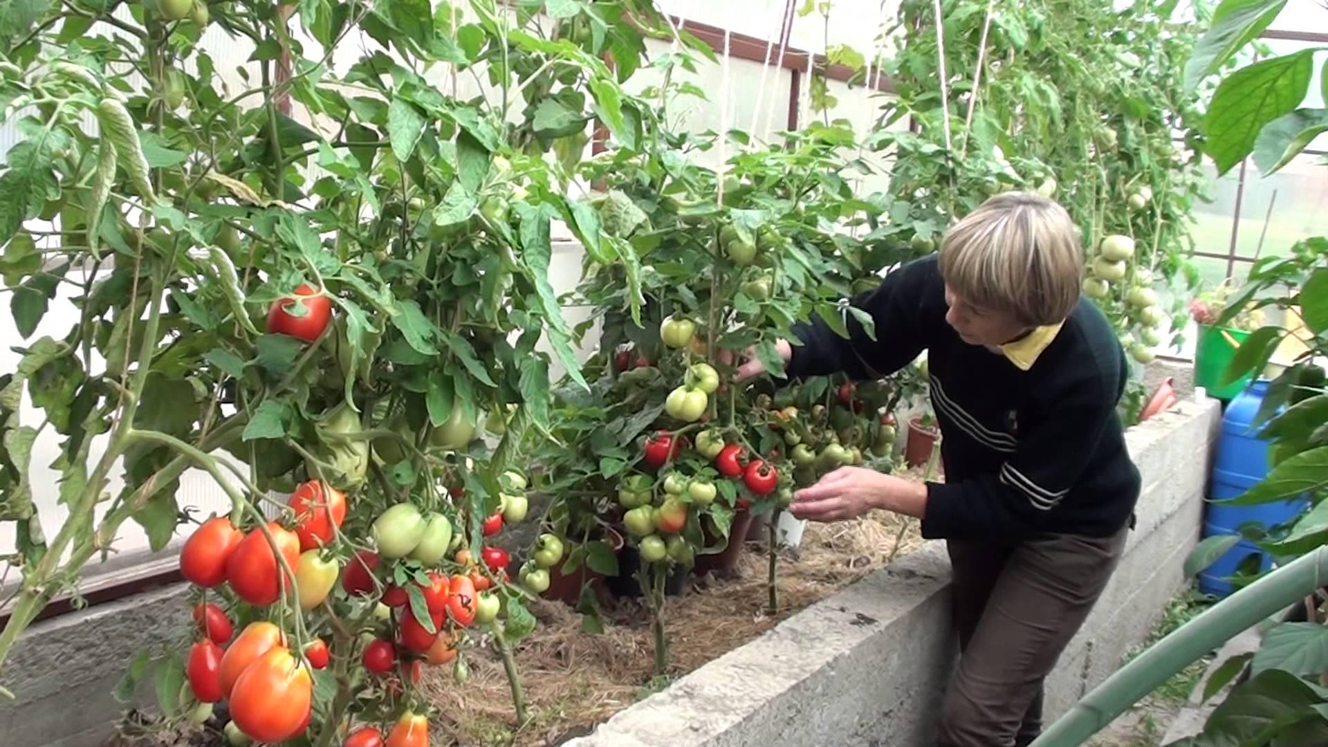 Пасынкование томатов в теплице
