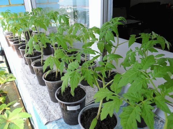 Фото рассады томатов на подоконнике