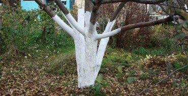 Фото ствола дерева после побелки