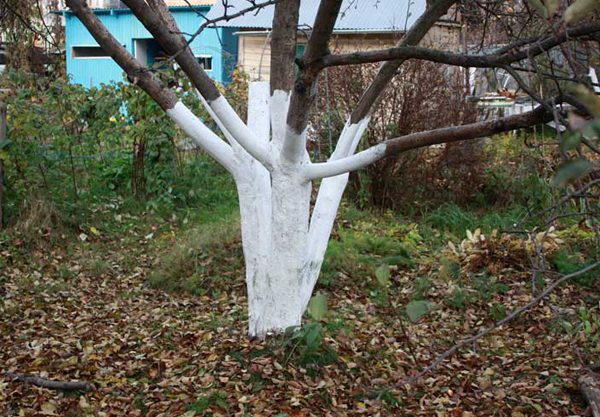 Ствол дерева после побелки