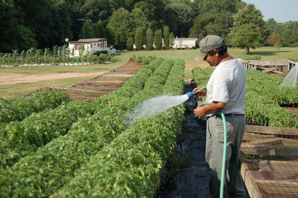Мужчина поливает рассаду помидор из шланга