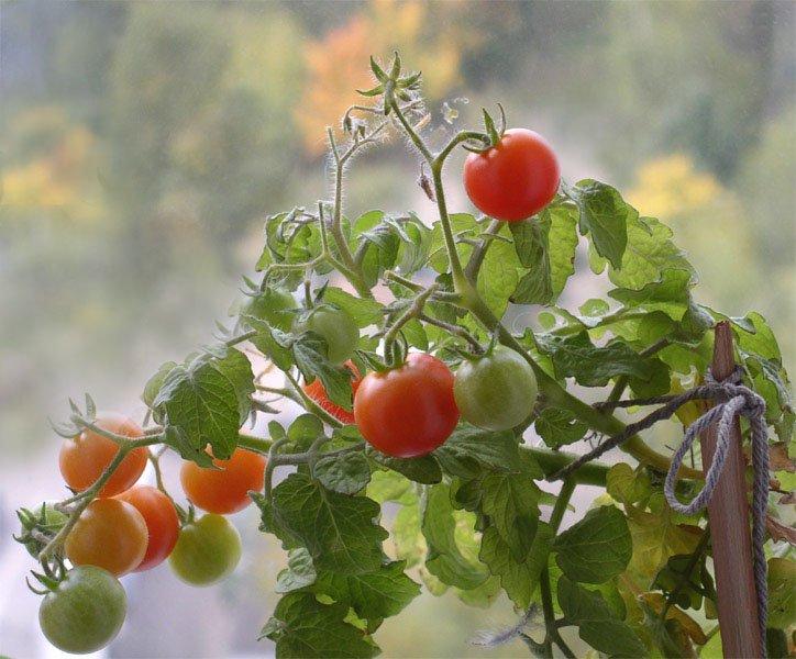Фото томатов сорта Черри