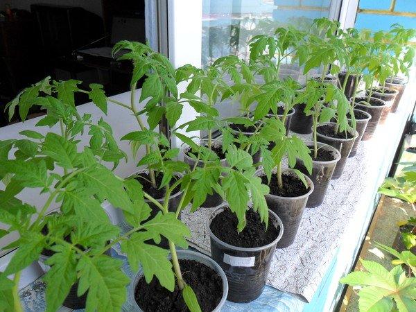 Фото рассады томатов в горшках