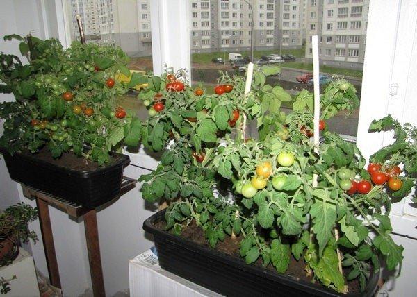 Фото томатов на лоджии