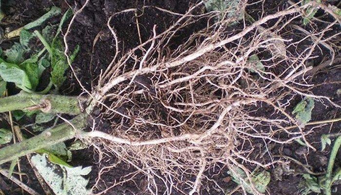 Фото корневой системы томата
