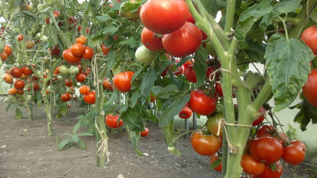 Урожай помидоров при выращивании по голландской технологии