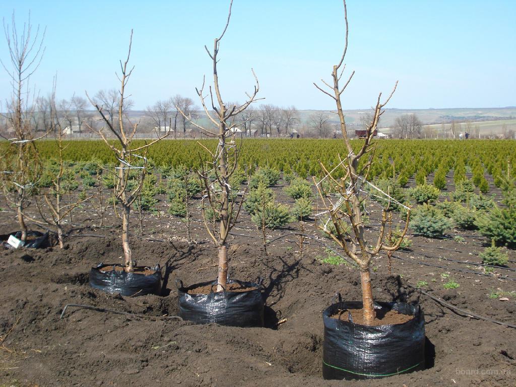 Как посадить вишню саженцами летом, весной или осенью правильно