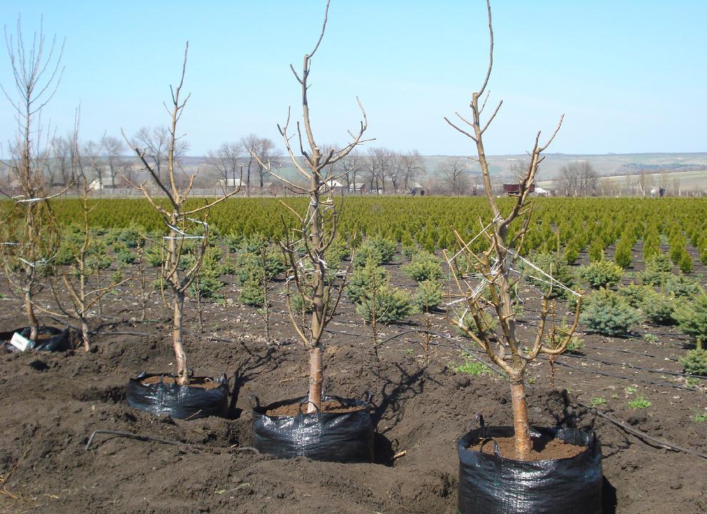 Фото 4-х саженцев вишни