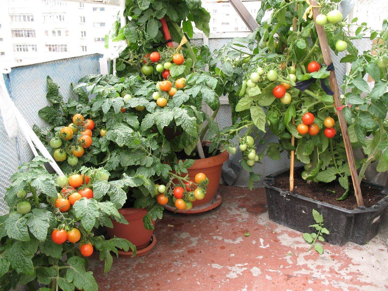 Фото помидор на балконе