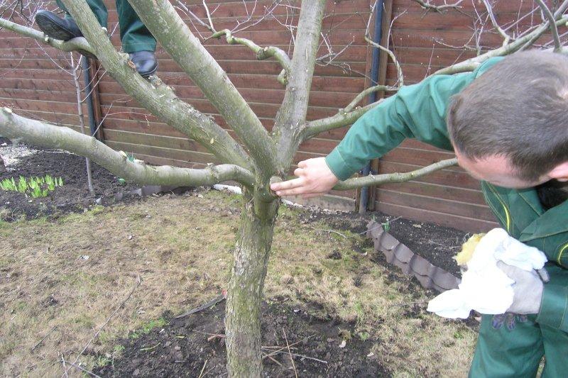 Смазывание места среза ветки вишни