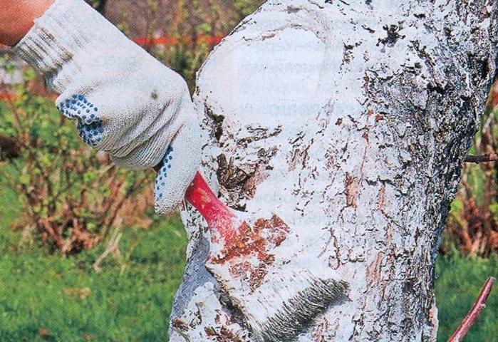 Побелка ствола дерева известью