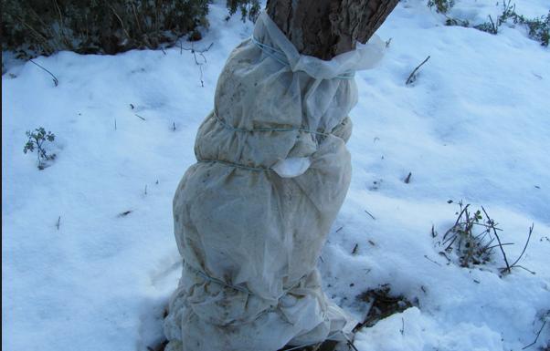Укрытие персика на зиму полиэтиленом