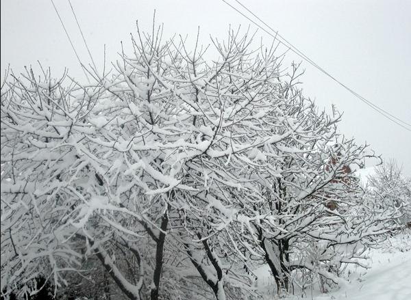 Фото вишни в снегу