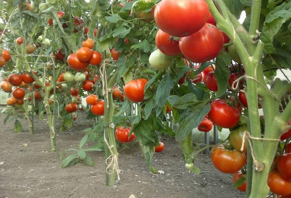 Кусты помидор с плодами