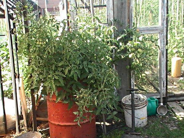 Куст томата в бочке с дырками