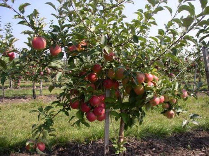 Фото яблони Чемпион с плодами