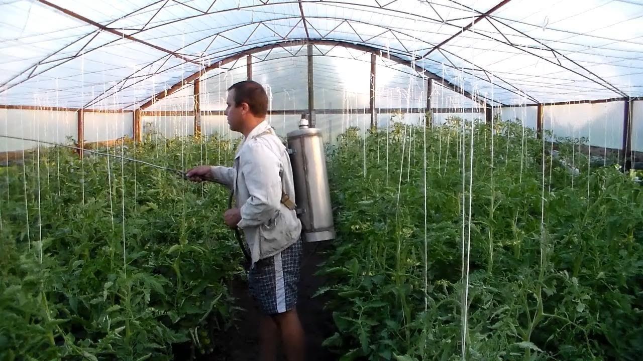 Опрыскивание помидоров в теплице