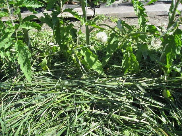 Кусты помидор после мульчирования