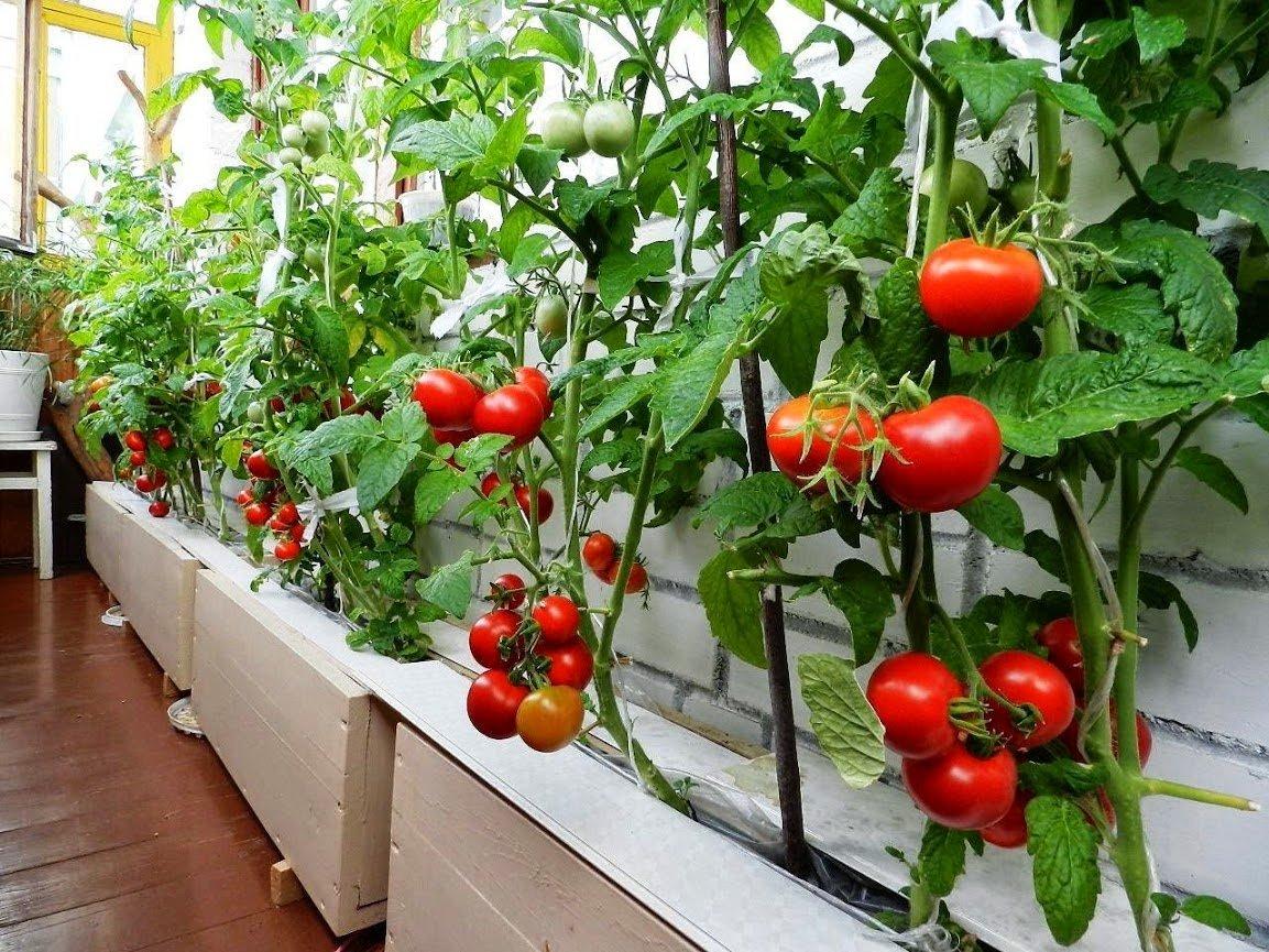 Фото томатов с плодами на балконе