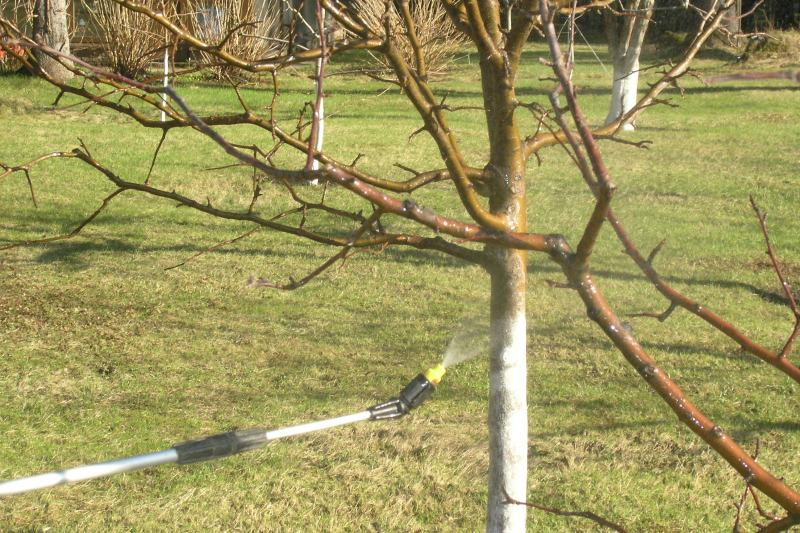 Нанесение извести на ствол вишни