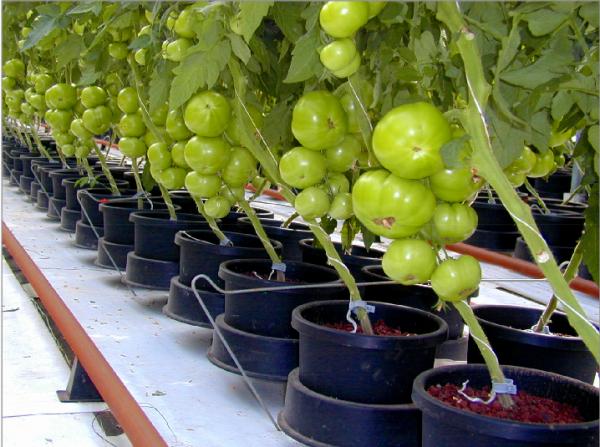 Фото томатов, посаженных в отдельные горшки