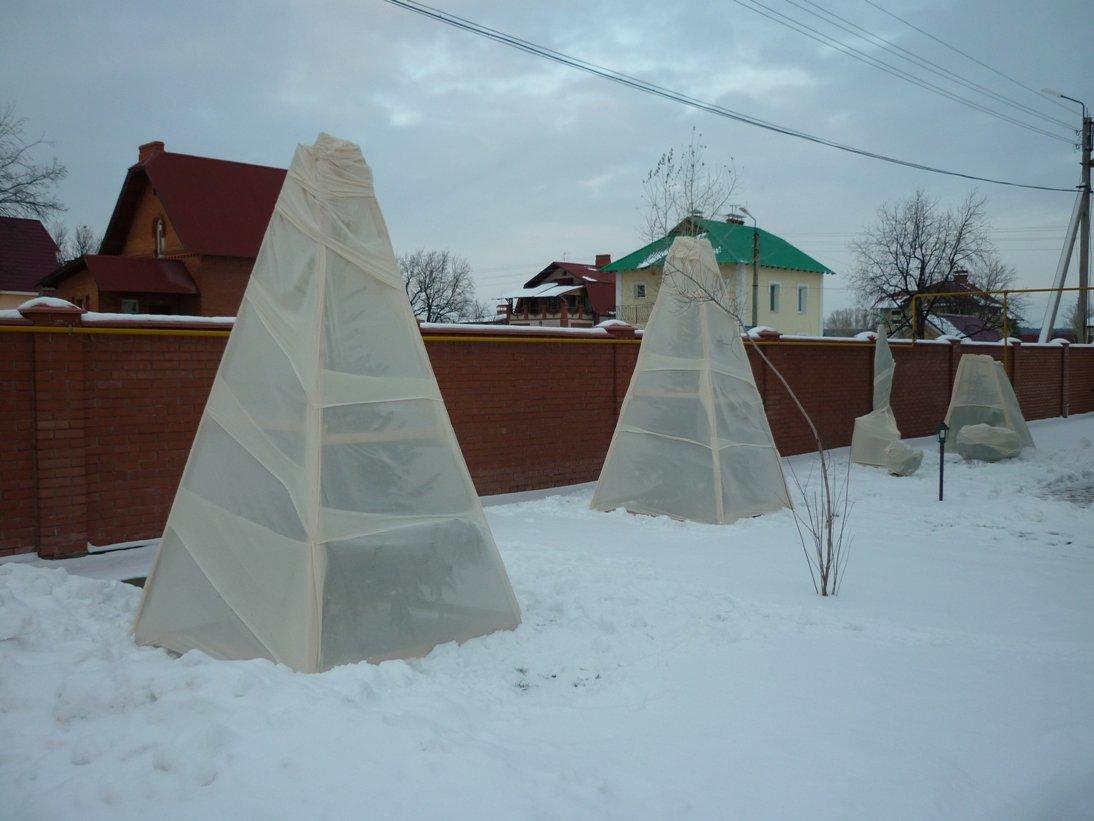 Вишни, укрытые на зиму