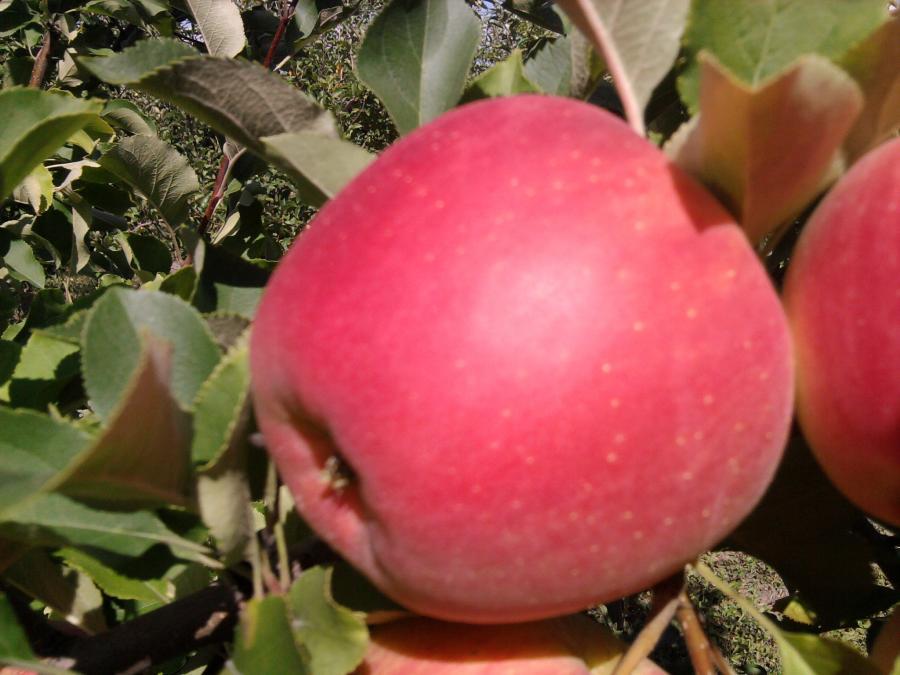 Фото яблока сорта Чемпион