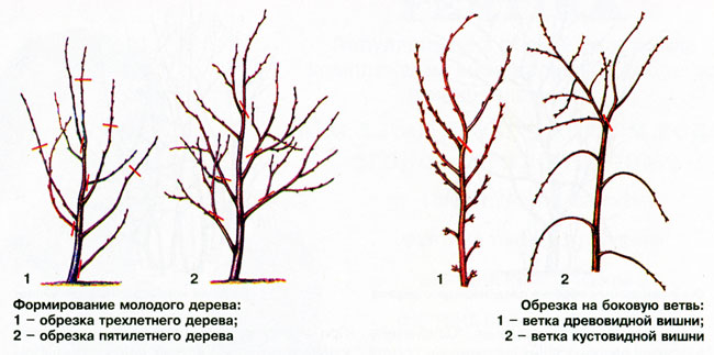 Схема обрезки вишни осенью