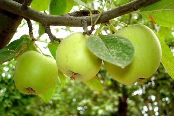 Яблоки Семеренко на ветке