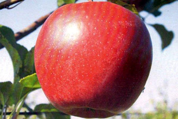 Красное яблоко сорта Лигол