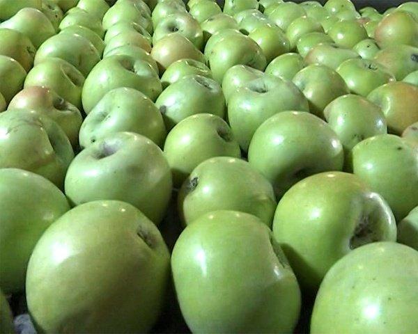 Яблоки сорта Ренет Семеренко