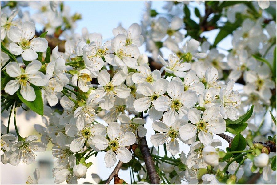 Фото густо цветущей вишни