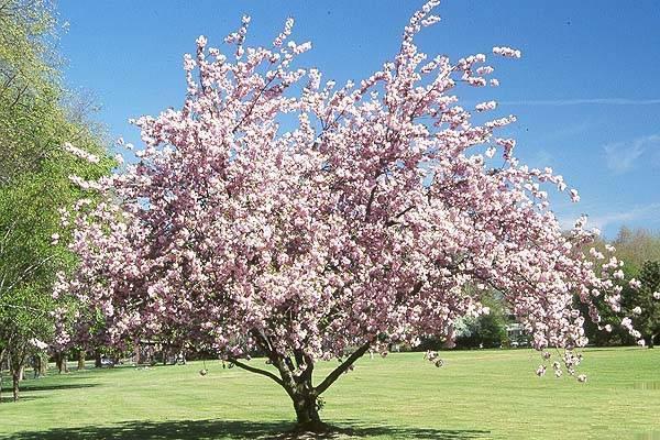 Фото дерева вишни во время цветения