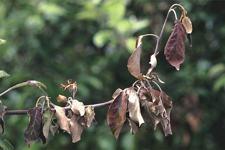 Скрученные от монилиоза листья