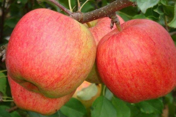 Яблоки Лигол на ветке