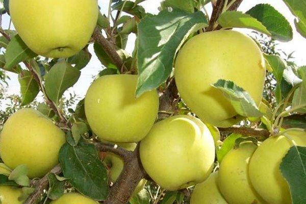 Фото яблок сорта Семеренко