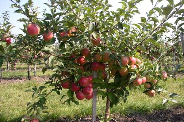 Молодое дерево яблони сорта Лигол