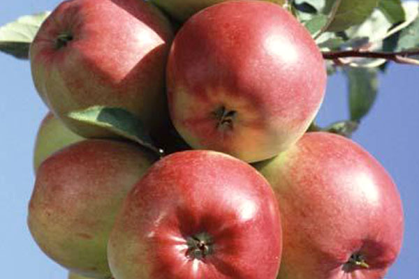 Фото яблок на дереве