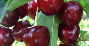 Плоды Тургеневской вишни на дереве
