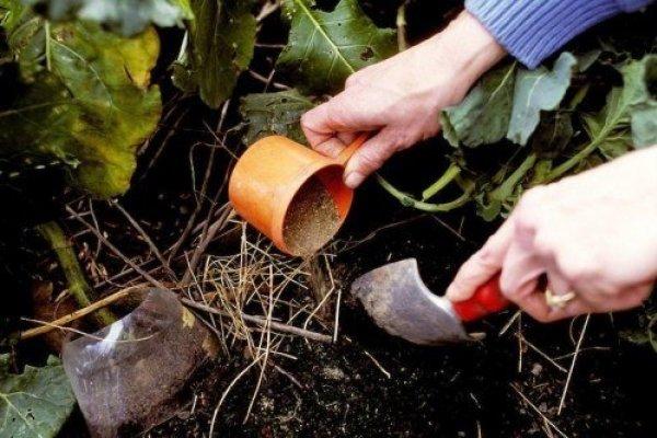 Женщина рыхлит почву возле клубники