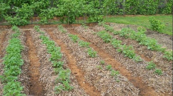 Кусты клубники после окучивания соломой